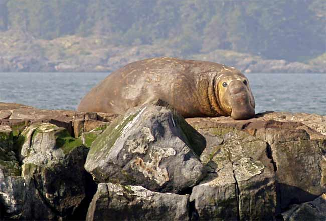 Elephant Seal at Race Rocks in Metchosin, BC