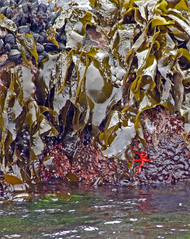 Kelp, barnacles and starfish at loow tide at Race Rocks Marine Protected area