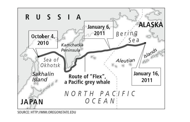 Pacific Grey whale migration from Russia to Alaska