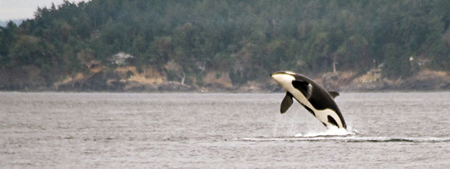 Orca breaching during whale watching tour from Victoria