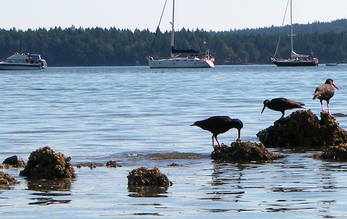 Oyster catchers at Clam Bay, Thetis Cove
