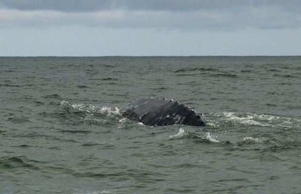 pacific grey whale