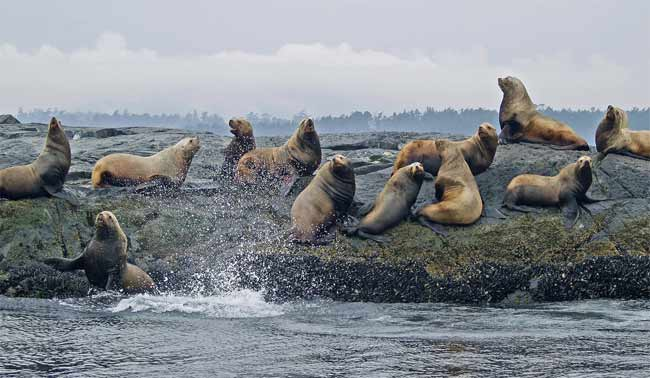 Sea Lions at Race Rocks BC