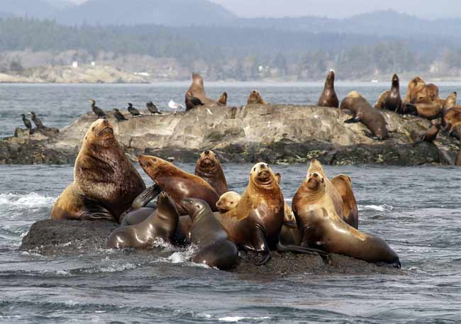 Stellar Sea Lion Males at Race Rocks