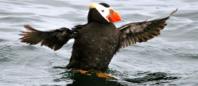 Tuffted Puffin