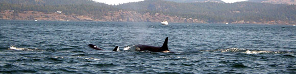 Orca killer whales just off Victoria